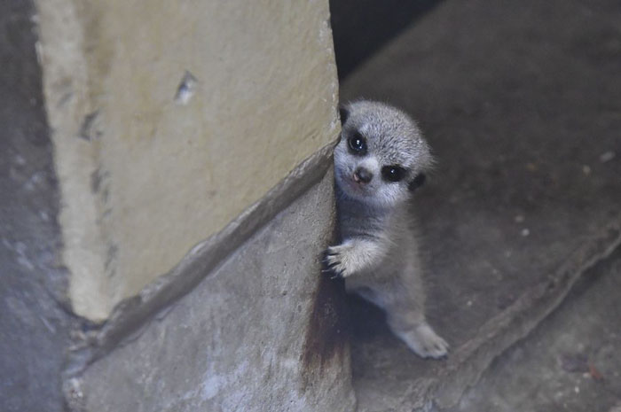 Photographer Captures A Shy Baby Meerkat, And It's Cute Beyond Words #3 | ZestRadar