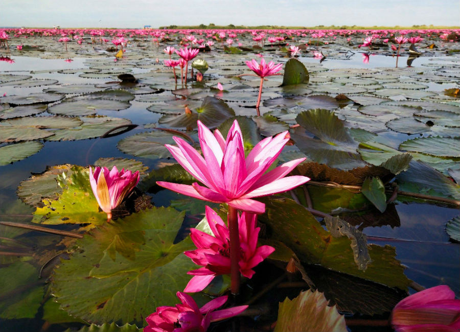 There's A Lake Of Pink Lotus Flowers In Thailand And It's Ridiculously Beautiful #5 | ZestRadar