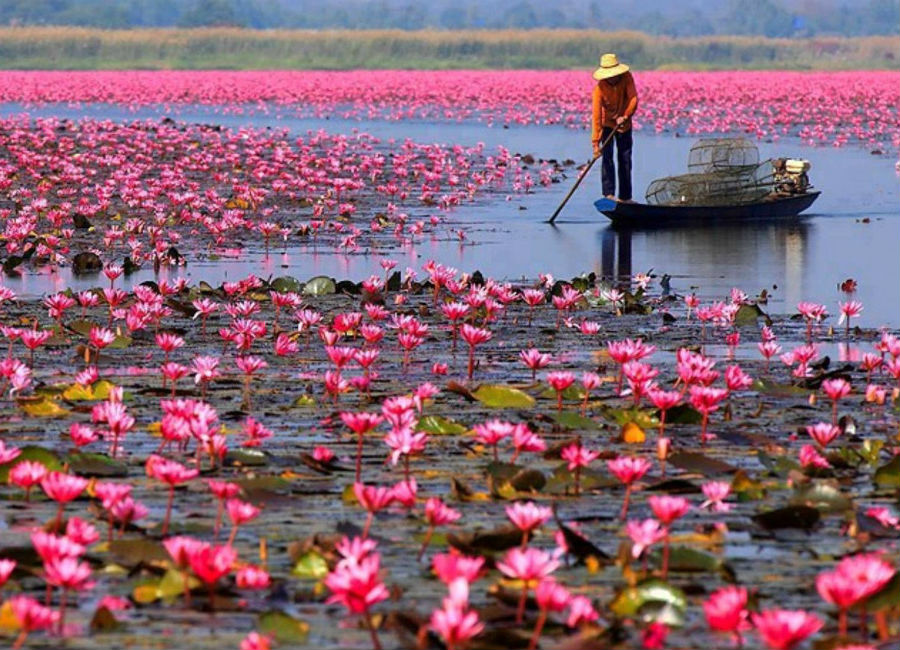 There's A Lake Of Pink Lotus Flowers In Thailand And It's Ridiculously Beautiful #7 | ZestRadar