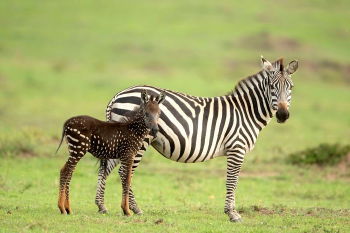 A Dotted Zebra?! What Sorcery Is This? | Brain Berries