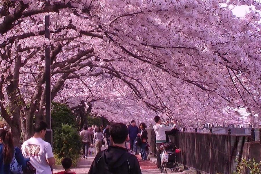 Цветение сакуры | 10 причин посетить Японию | ZestRadar