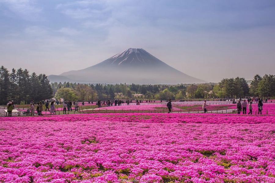 Цветение мха Шибазакура | 10 причин посетить Японию | ZestRadar