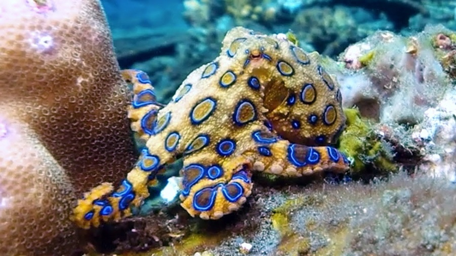 Blue-ringed octopus | 8 Cute Animals That Are Actually Dangerous | ZestRadar