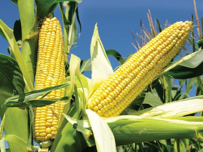 Corn | 6 Common Genetically Modified Foods | Brain Berries