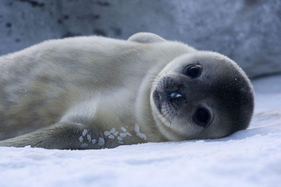Leopard seal   8 Cute Animals That Are Actually Dangerous   ZestRadar