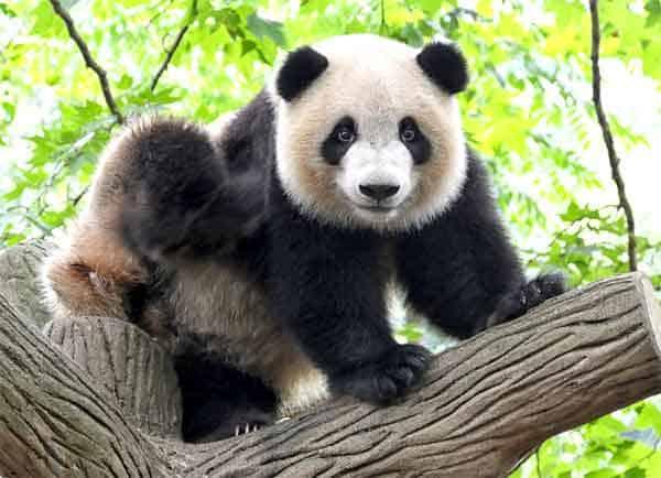 Panda Bear | 8 Cute Animals That Are Actually Dangerous | ZestRadar