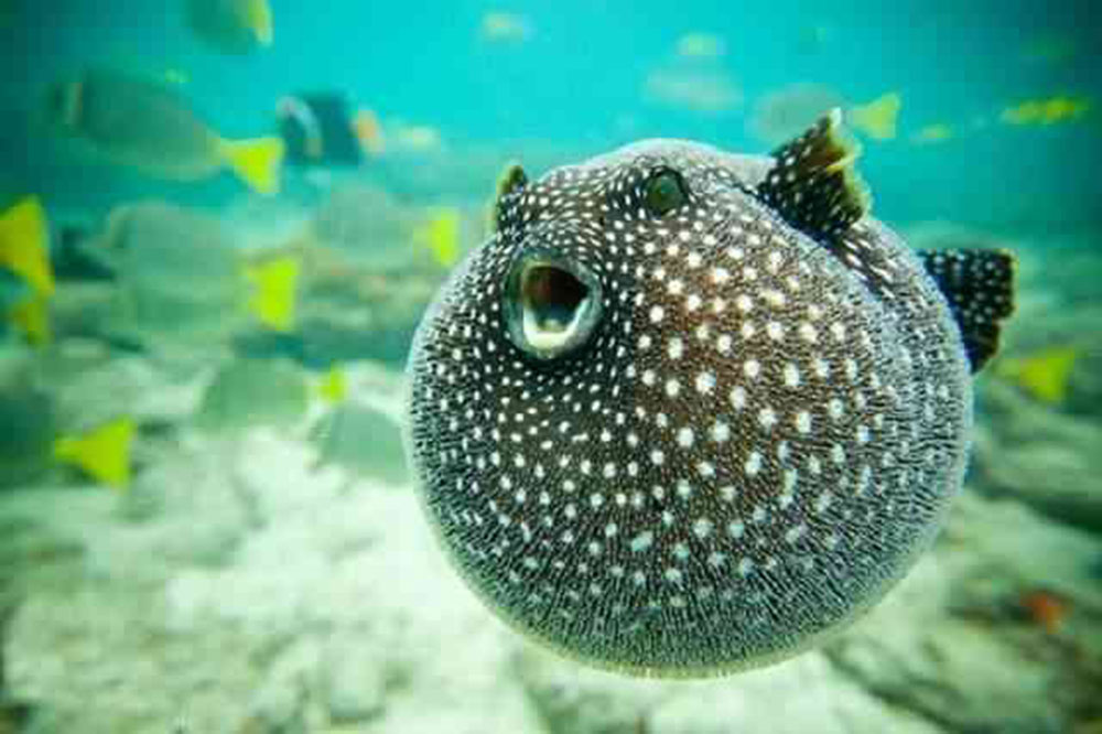Puffer fish | 8 Cute Animals That Are Actually Dangerous | ZestRadar