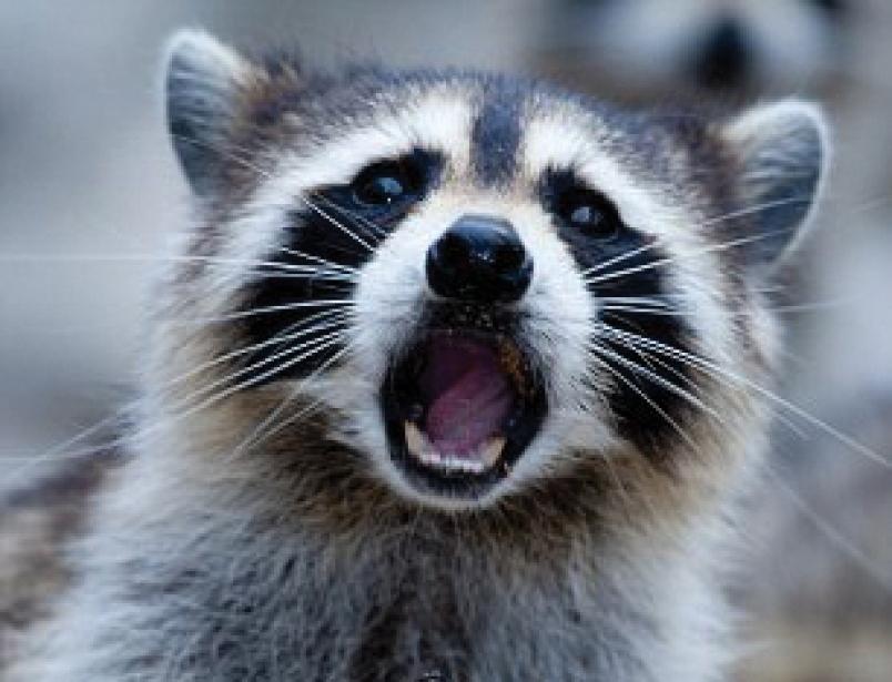Raccoon | 8 Cute Animals That Are Actually Dangerous | ZestRadar