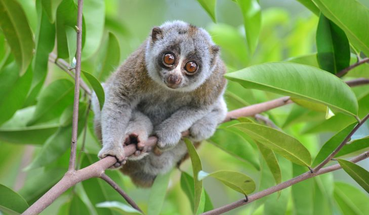 Slow Loris | 8 Cute Animals That Are Actually Dangerous | ZestRadar