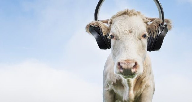 Cows Love Them Some Good Music | Seven Sensational Facts About Sound | Brain Berries