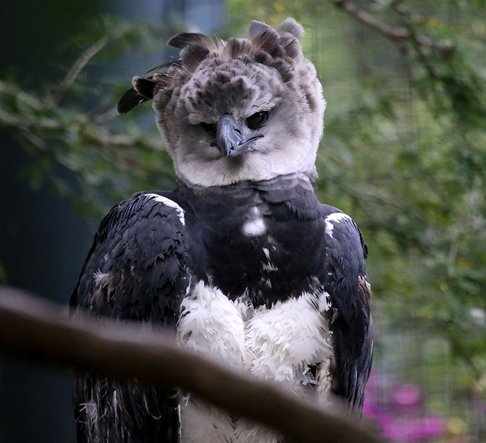 Meet The Harpy Eagle, A Giant Bird That Looks Totally Out Of This World #1 | ZetRadar