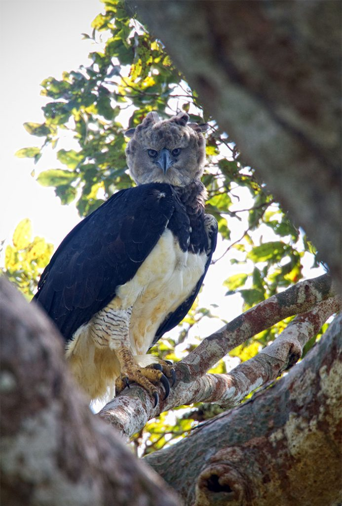Meet The Harpy Eagle, A Giant Bird That Looks Totally Out Of This World #5 | ZetRadar