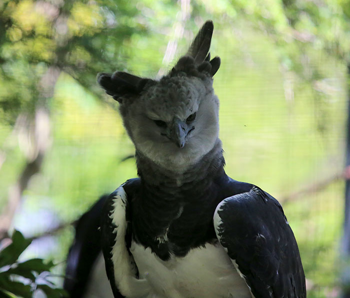 Meet The Harpy Eagle, A Giant Bird That Looks Totally Out Of This World #6 | ZetRadar