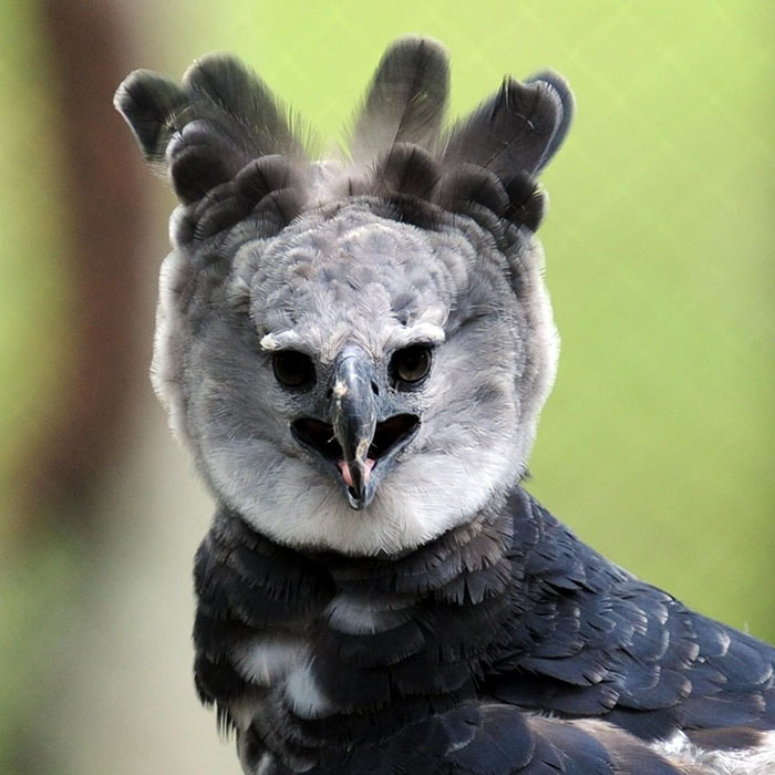 Meet The Harpy Eagle, A Giant Bird That Looks Totally Out Of This World #7 | ZetRadar
