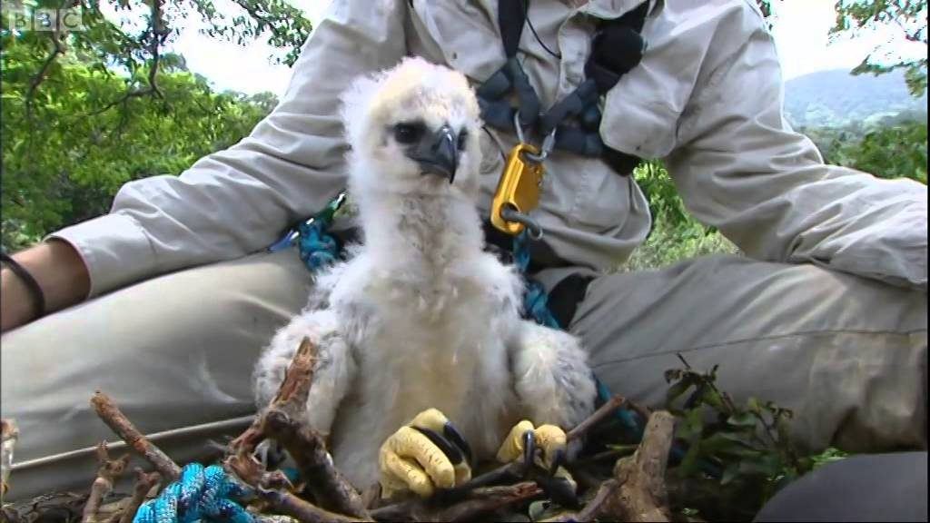 Meet The Harpy Eagle, A Giant Bird That Looks Totally Out Of This World #8 | ZetRadar