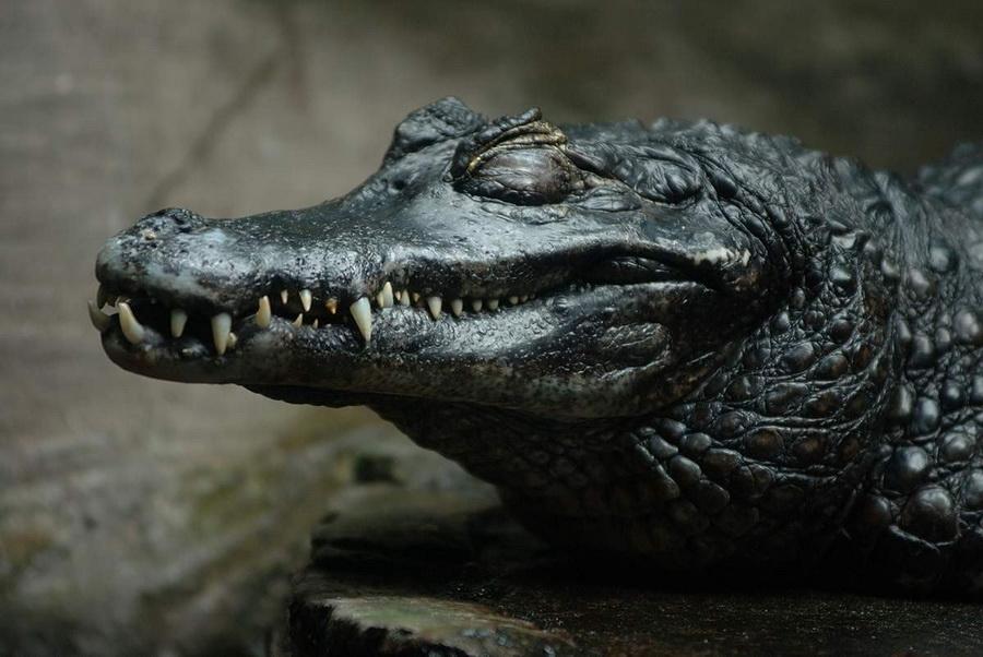 Черный кайман   8 самых опасных животных, обитающих в реках Амазонки   ZestRadar