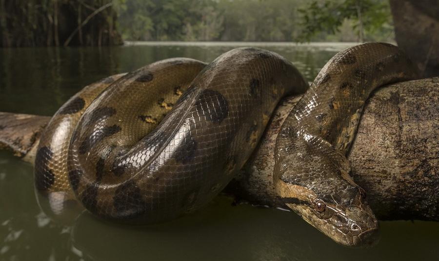Гигантская анаконда   8 самых опасных животных, обитающих в реках Амазонки   ZestRadar