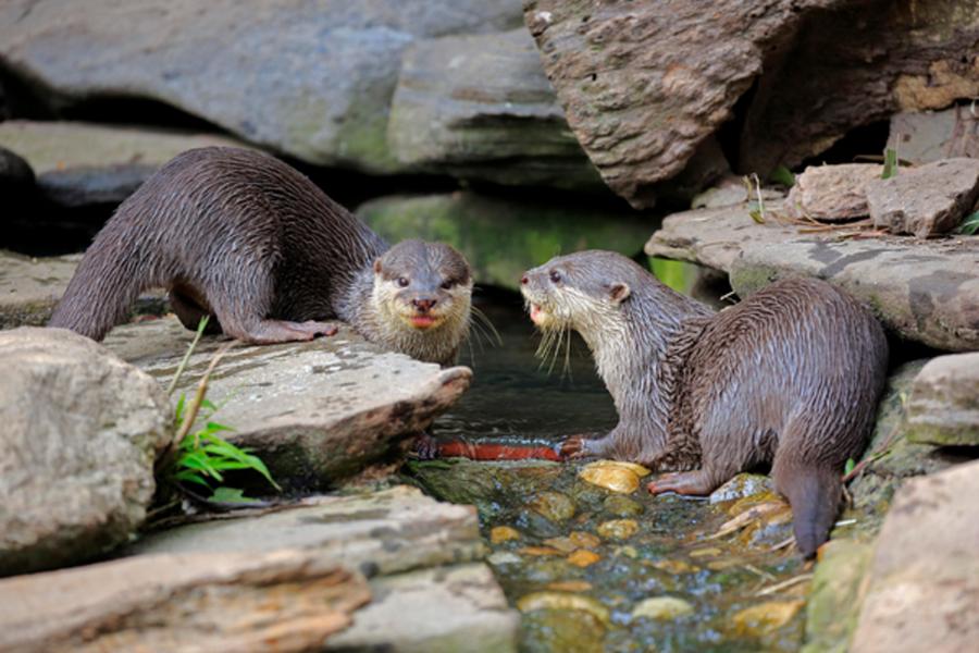Гигантские выдры   8 самых опасных животных, обитающих в реках Амазонки   ZestRadar