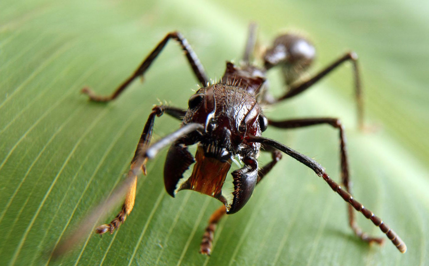 Bullet Ants | The Deadliest Insects In The World | Brain Berries