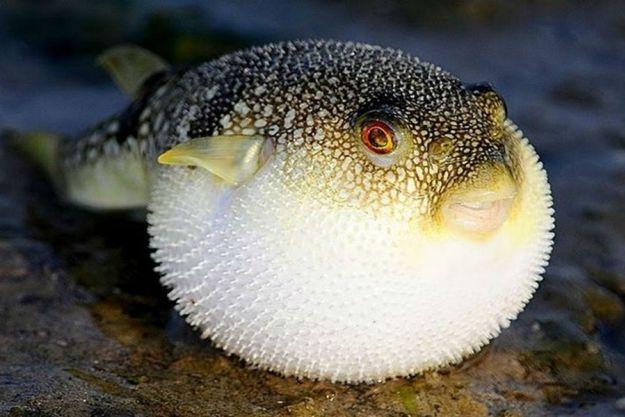 Pesce palla  | Il cibo più pericoloso del mondo | Brain Berries