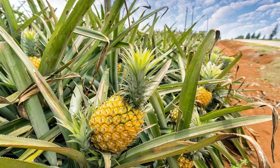 Ананас | Топ-10 самых больших ягод в мире | ZestRadar