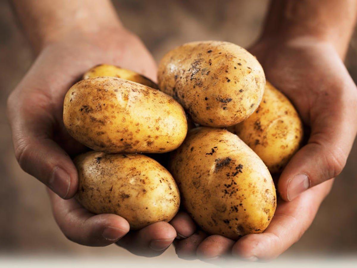 Картофель | Самые распространенные генетически модифицированные продукты | Brain Berries