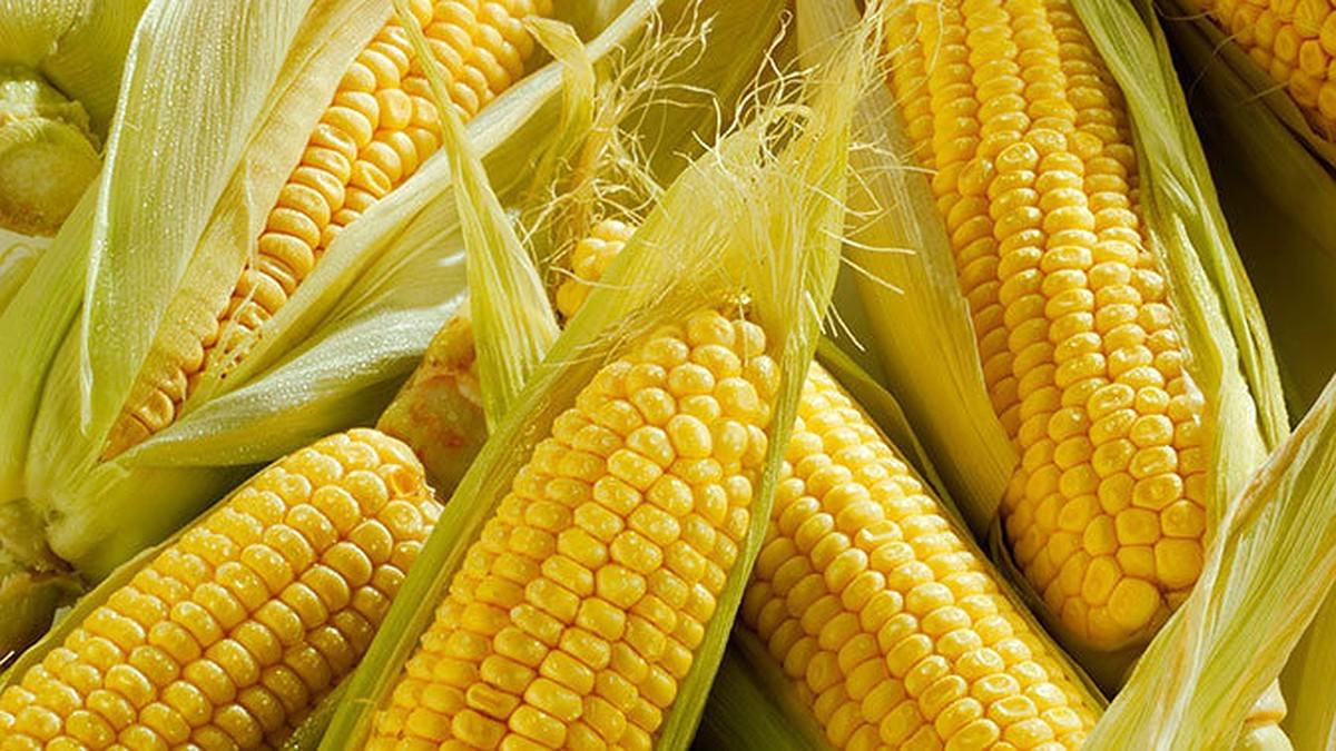Кукуруза | Самые распространенные генетически модифицированные продукты | Brain Berries
