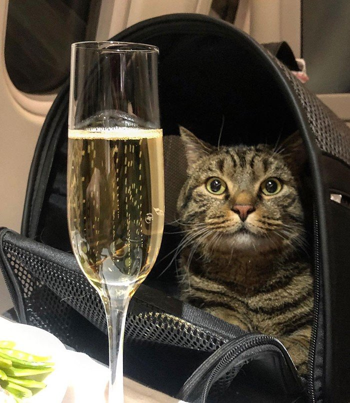 Обман Аэрофлота | Как кот Виктор стал звездой социальных сетей и мотиватором для похудения| Brain Berries
