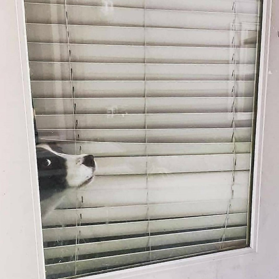 #13   Take A Break And Enjoy These Photos Of Doggos Being Sneaky And Desperate For Attention   Zestradar
