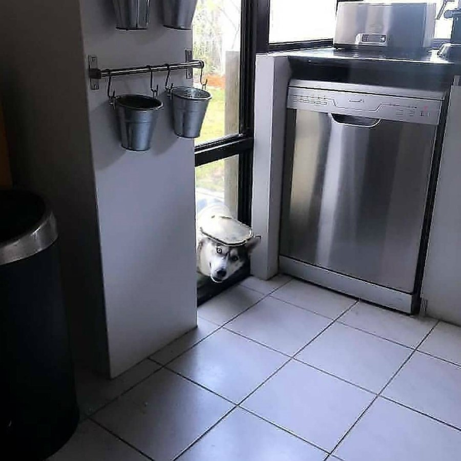 #3 | Take A Break And Enjoy These Photos Of Doggos Being Sneaky And Desperate For Attention | Zestradar