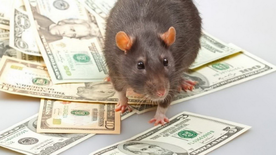 Рациональная крыса | 9 фактов, которые нужно знать о годе крысы | Zestradar