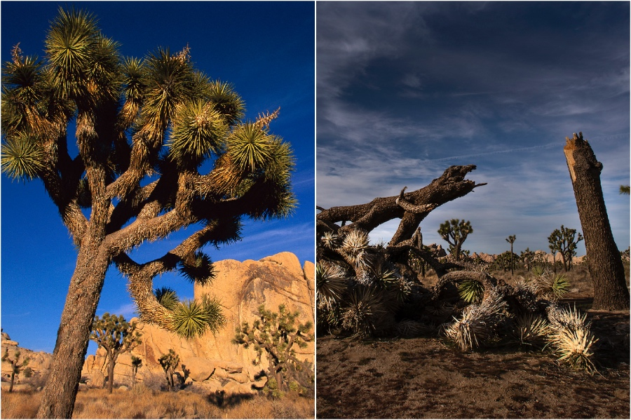 Joshua Tree National Park, California | The Historical Sights We Lost In The Last 5 Years | BrainBerries