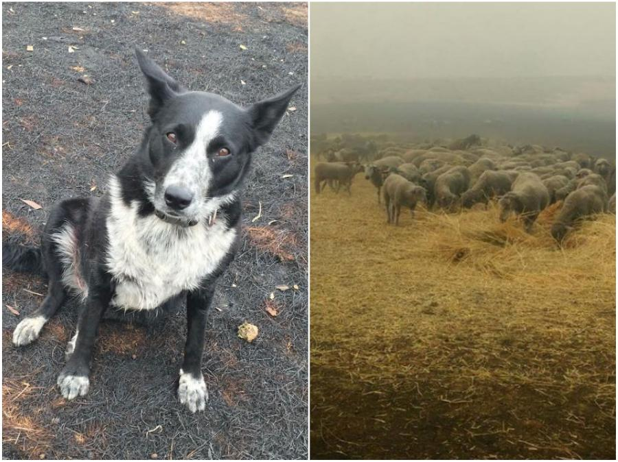 Dog saves a flock of sheep | 15 Animals Rescued From Australia Bushfires To Melt Your Heart | Zestradar