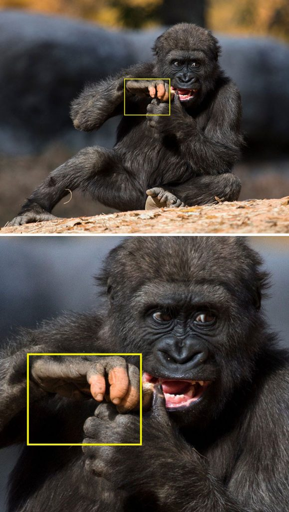 #4 | Gorilla Anaka Strikes Everyone With No Pigmentation On Her Hand | Zestradar