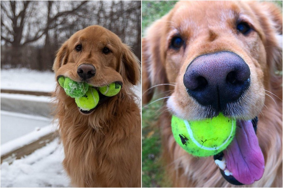 Dog Obsessed With Tennis Balls Breaks A Record #4 | Zestradar
