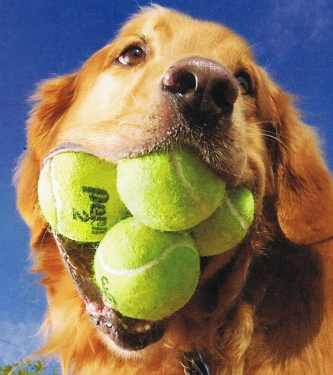 Dog Obsessed With Tennis Balls Breaks A Record #6 | Zestradar