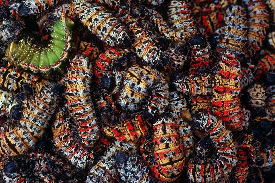 This image has an empty alt attribute; its file name is Mopane-Worms.jpg