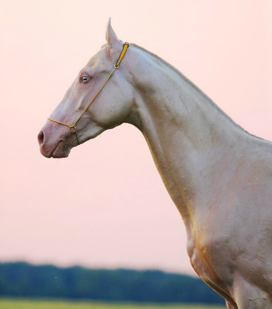 Wanna See The Most Beautiful Horse On Earth?  | Zestradar
