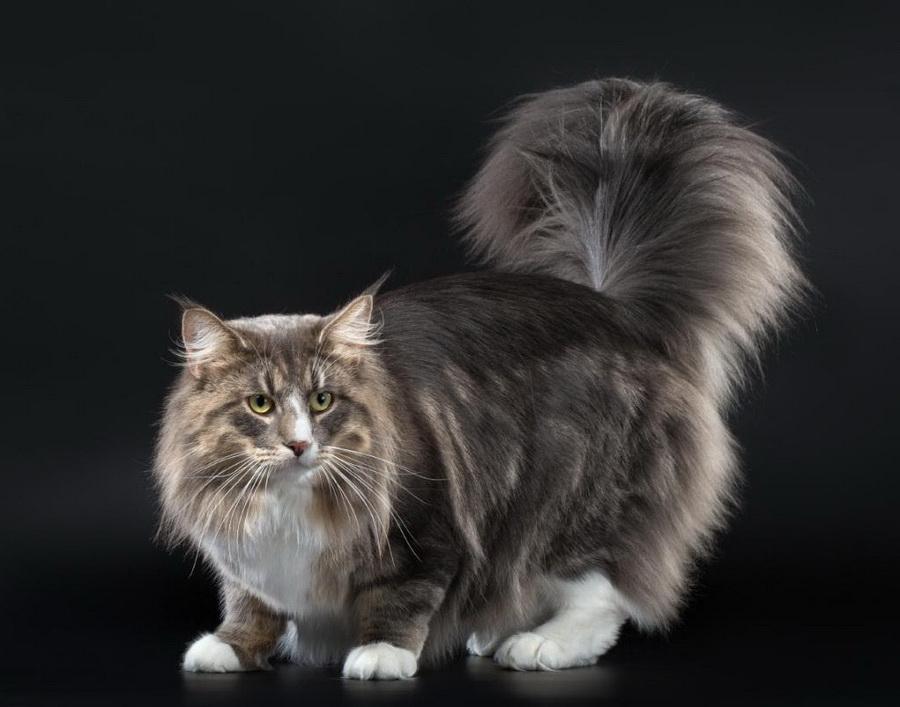 Норвежская лесная кошка | 10 самых красивых пород домашних кошек | Zestradar