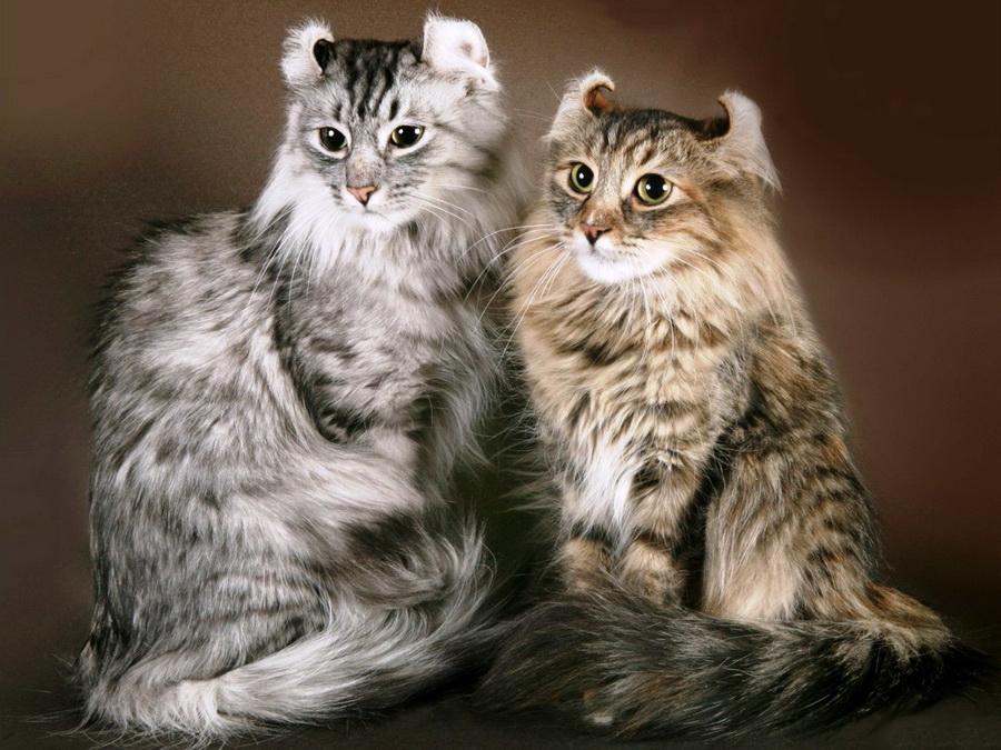 Американский Кёрл | 10 самых красивых пород домашних кошек | Zestradar