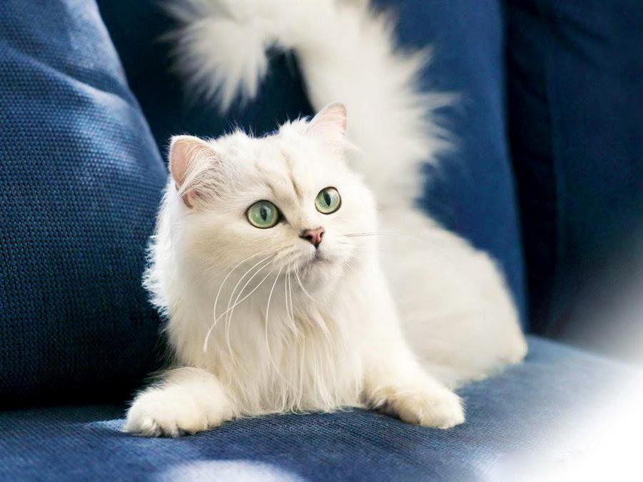 Турецкая ангора | 10 самых красивых пород домашних кошек | Zestradar