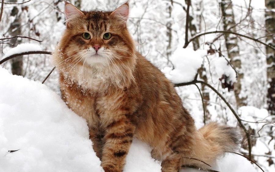 Сибирская кошка | 10 самых красивых пород домашних кошек | Zestradar