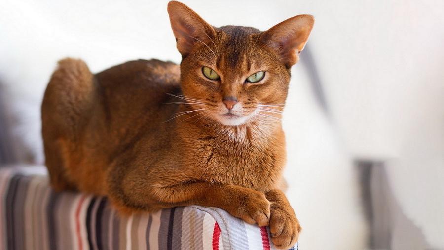Абиссинская кошка | 10 самых красивых пород домашних кошек | Zestradar