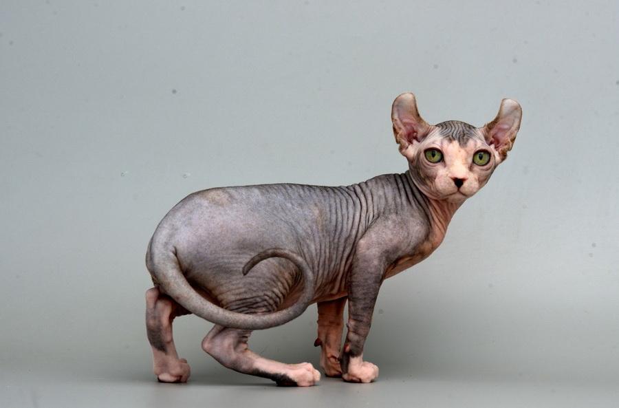 Эльф | 10 самых красивых пород домашних кошек | Zestradar