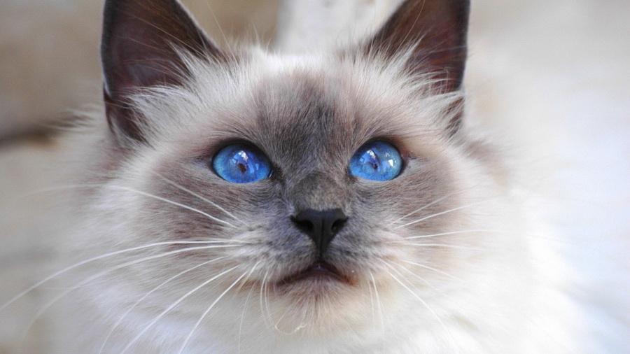 Бирманская кошка | 10 самых красивых пород домашних кошек | Zestradar