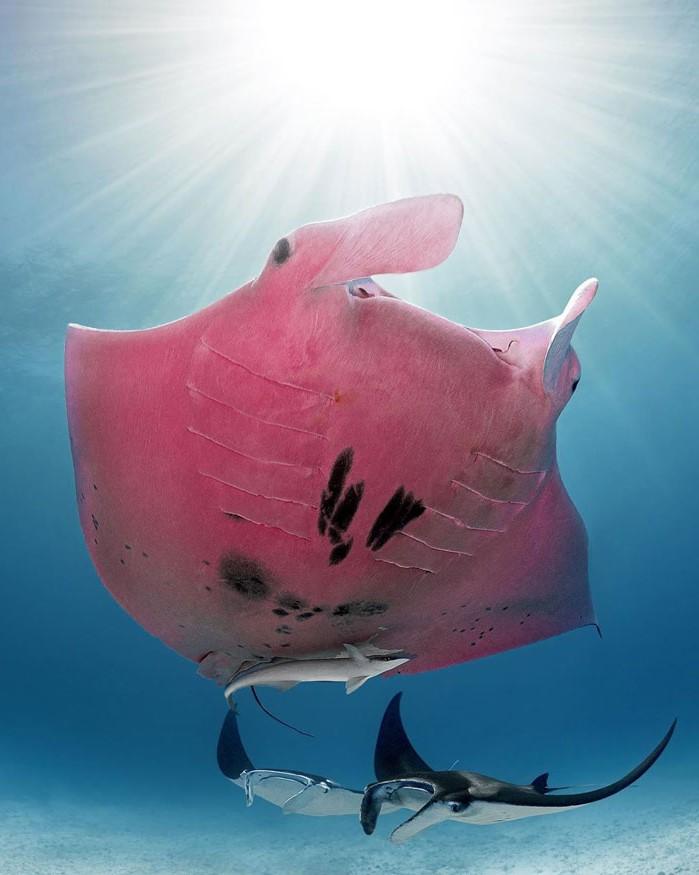 Australian Diver Comes Across A Unique Pink Manta Ray #1 | Zestradar