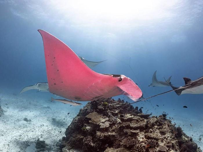 Australian Diver Comes Across A Unique Pink Manta Ray #3 | Zestradar