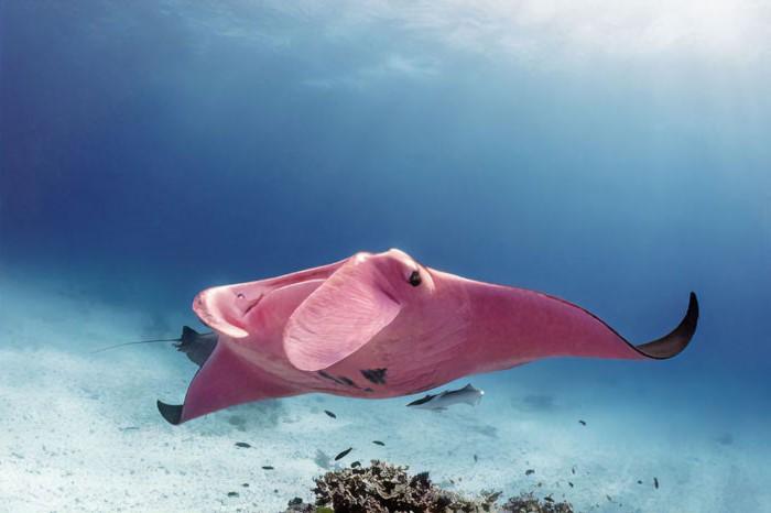 Australian Diver Comes Across A Unique Pink Manta Ray #4 | Zestradar