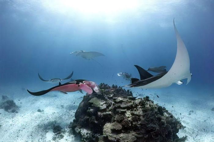 Australian Diver Comes Across A Unique Pink Manta Ray #5 | Zestradar