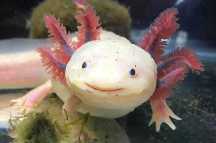 Axolotl | 10 Times Nature Went Over The Top To Impress Us, And It Worked! | Zestradar